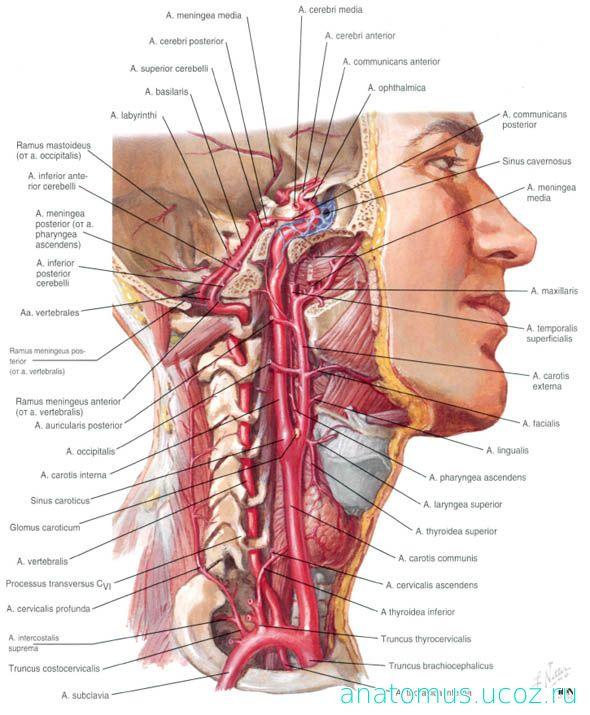 Сосуды проходящие через шейные позвонки