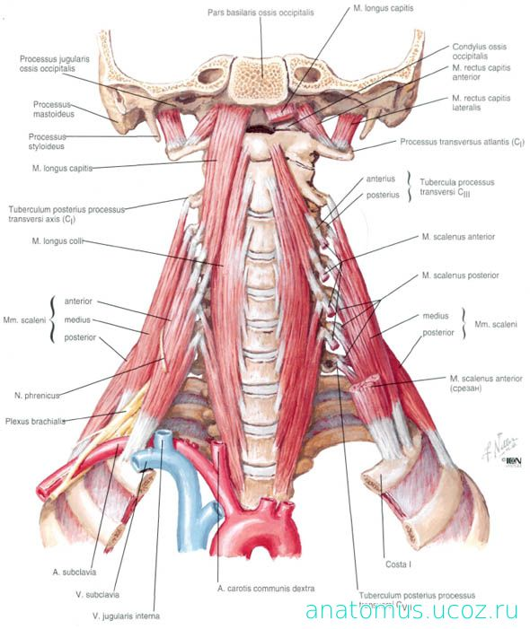 Netter neck anatomy 4064531 - follow4more.info