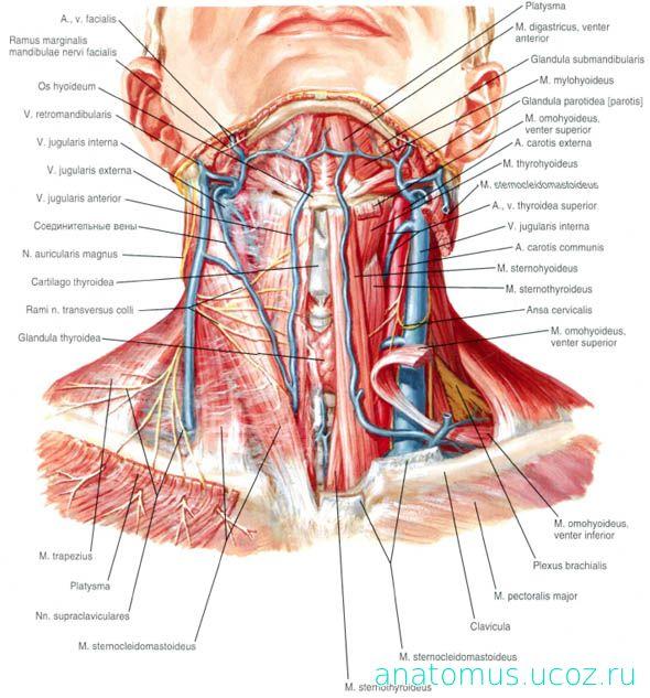 Netter neck anatomy