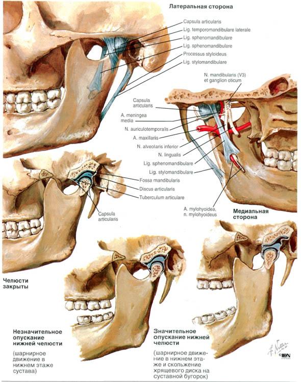 анатомо-физиологические и функциональные характеристика височно-нижнечелюстного сустава п