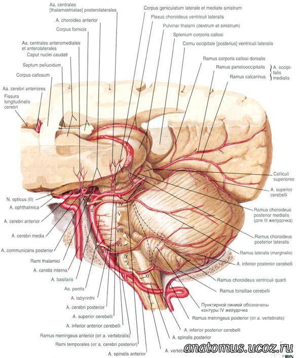 Ophthalmic artery netter